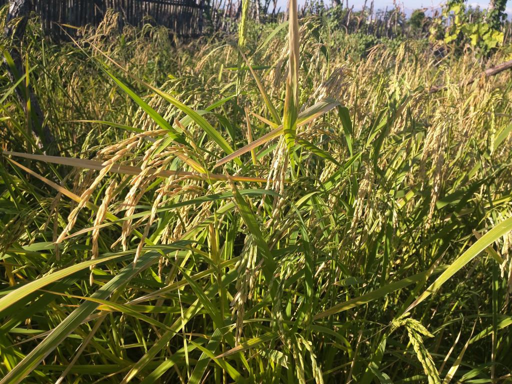 Ngày 15.12, lúa đã đến mùa gặt