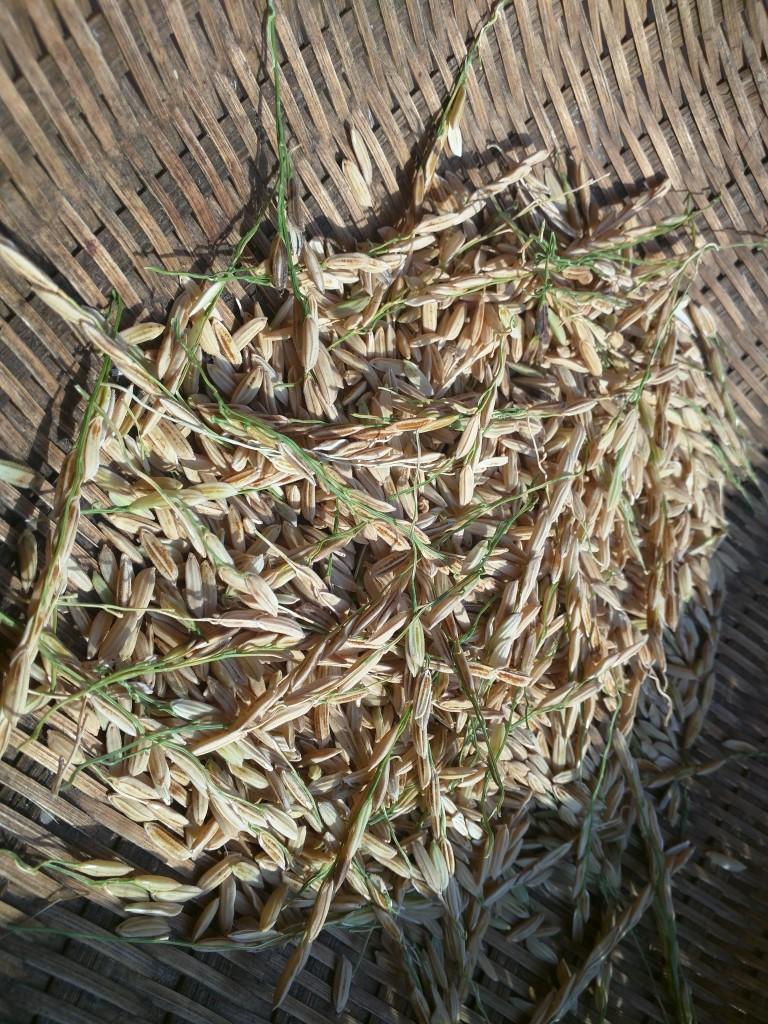 Thu hoạch dần dần để tránh chim và chuột ăn